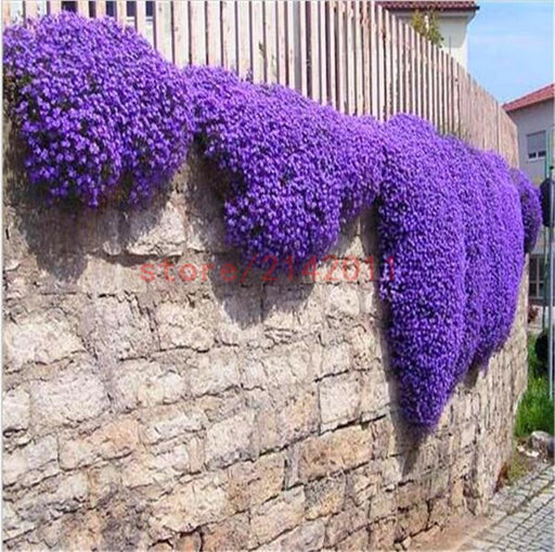 100Pcs/Bag Creeping Thyme Seeds Or Blue Rock Cress Seeds - Perennial Ground Cover Flower ,Natural-Garden Supplies-Silvia Icey Store-1-EpicWorldStore.com