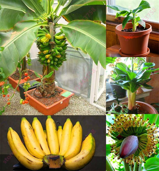 200 Pcs Banana Seeds, Dwarf Fruit Trees, Milk Taste, Outdoor Perennial Fruit Seeds For Garden Plants-Garden Supplies-Shop5241120 Store-EpicWorldStore.com