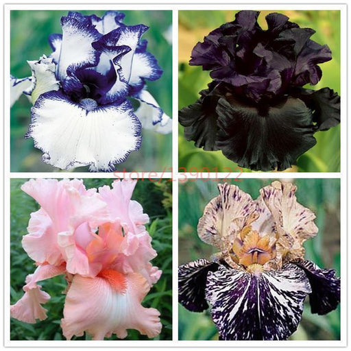200Pcs Rare Iris ,Iris Seeds,Bonsai Flower Seeds,24 Colours, Heirloom Iris Tectorum Perennial-Garden Supplies-Silvia Icey Store-1-EpicWorldStore.com