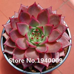 50Seeds/Pack Mix Succulent Seeds Lotus Lithops Pseudotruncatella Bonsai Plants Seeds For Home &-Garden Supplies-Silvia Icey Store-1-EpicWorldStore.com