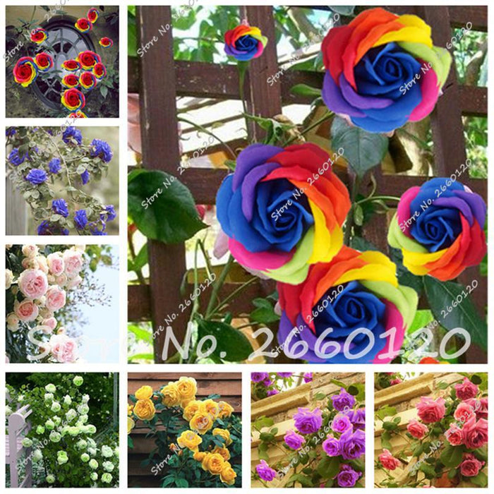 Rare Rose Tree Chinese Lovely Seeds Potted Beautiful Balcony Yard Flower Plant