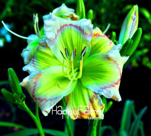 Hot Sale! 100 Seeds/Lot Hybrid Daylily Flowers Seeds Hemerocallis Lily Indoor Bonsai Home Garden-Garden Supplies-Bonsai Plants Store-MIX-EpicWorldStore.com
