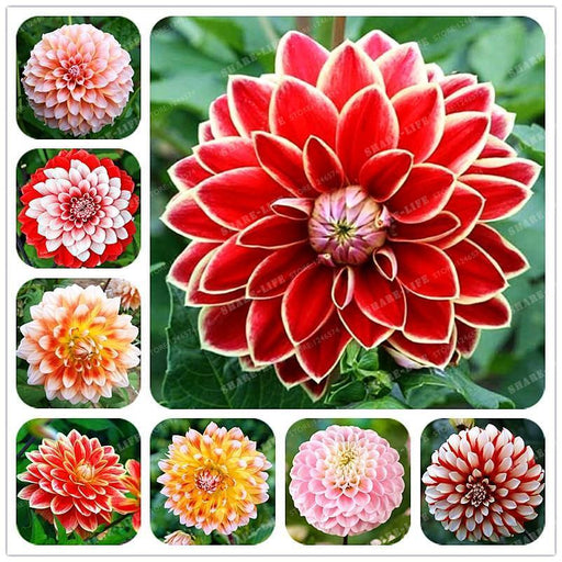Rare Mixed Colors Dahlia Seeds Beautiful Perennial Flowers Seeds Dahlia For Diy Home Garden 10-Garden Supplies-Shop3046033 Store-1-EpicWorldStore.com