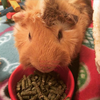 smallpetselect-uk,3rd Cut Timothy + Guinea Pig Food Pellets + Bedding