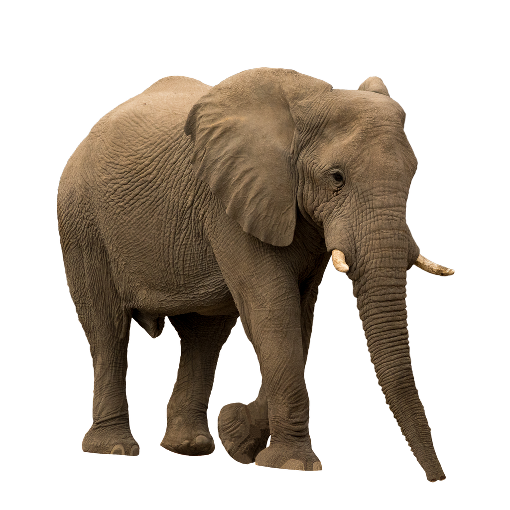 African Forrest Elephant