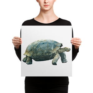 Galapagos-Giant-Turtle Canvas