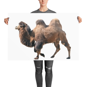 Bactrian-Camel Photo paper poster