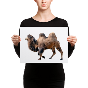 Bactrian-Camel Canvas