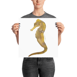 Seahorse Photo paper poster