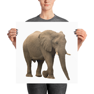 African-Forrest-Elephant Photo paper poster