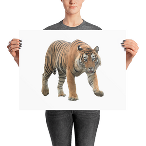 Bengal-Tiger Photo paper poster