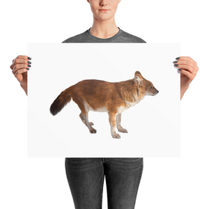 Dhole Photo paper poster