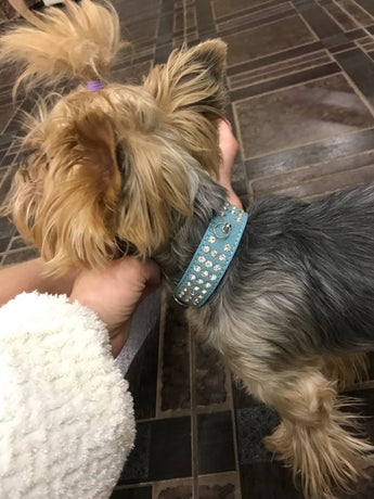 Yorkie Gets New Sparkly Collar