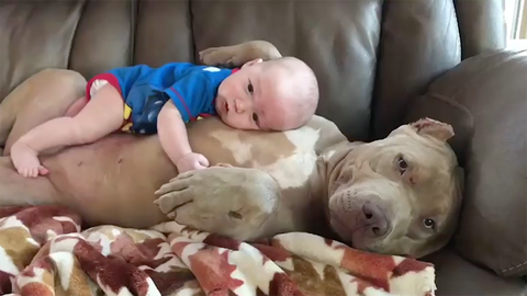 pit bull kid pet kisses