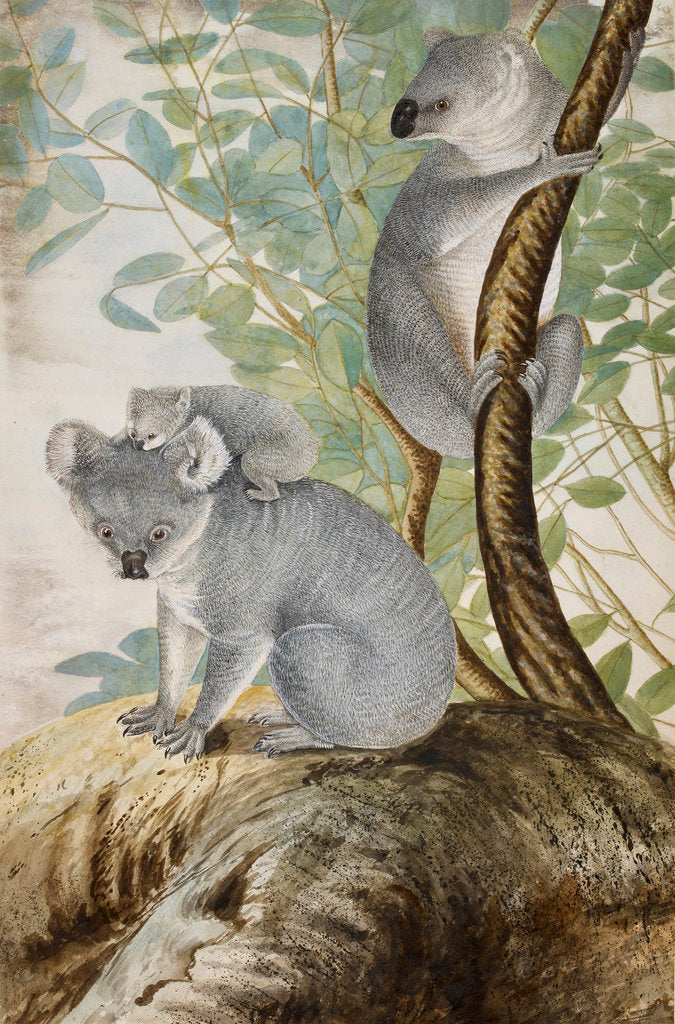 Detail of Koala bears by John William Lewin