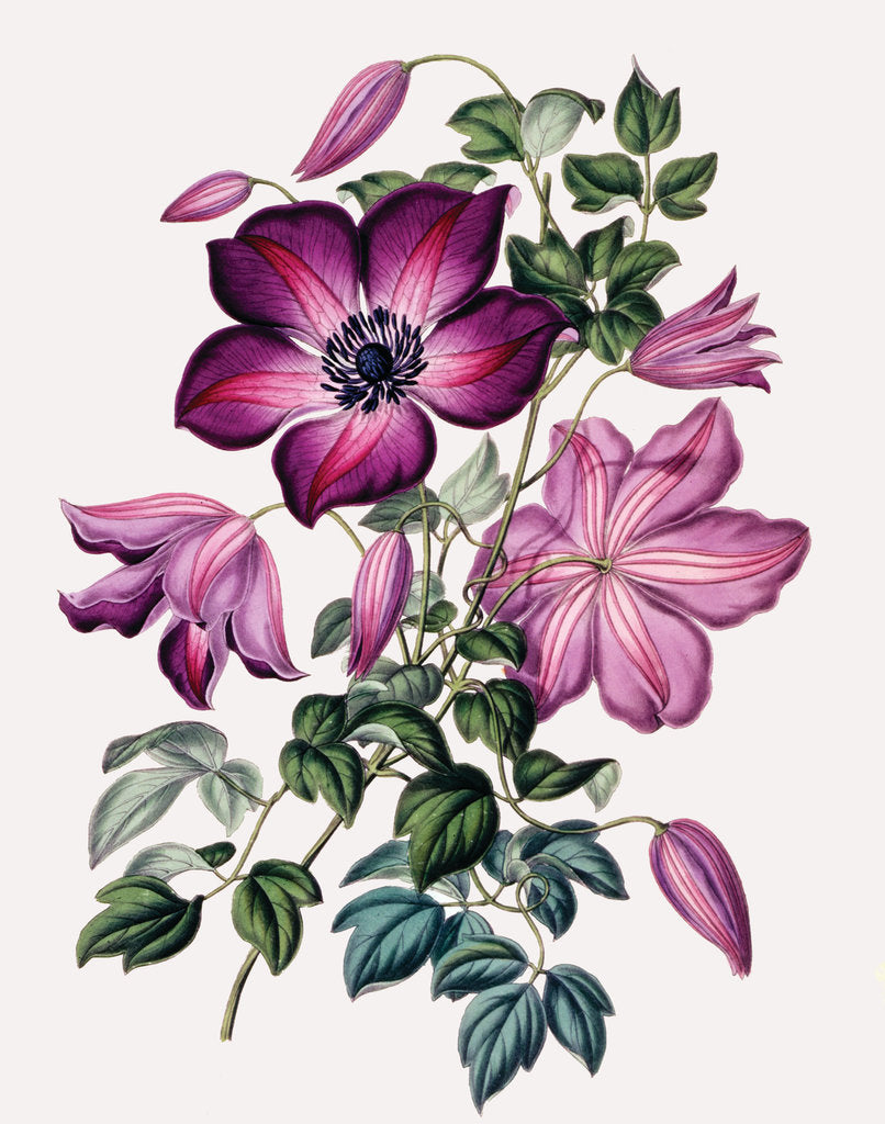 Detail of Clematis by Miss Sowerby