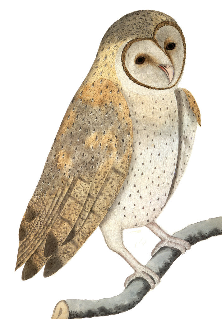Detail of Owl by Anonymous