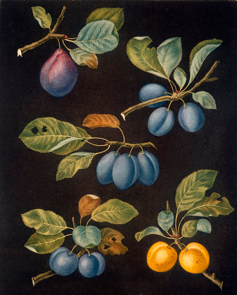 Detail of Plums by George Brookshaw