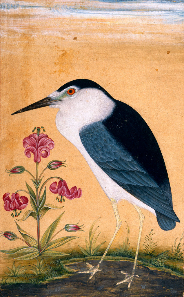 Detail of Night heron by Anonymous