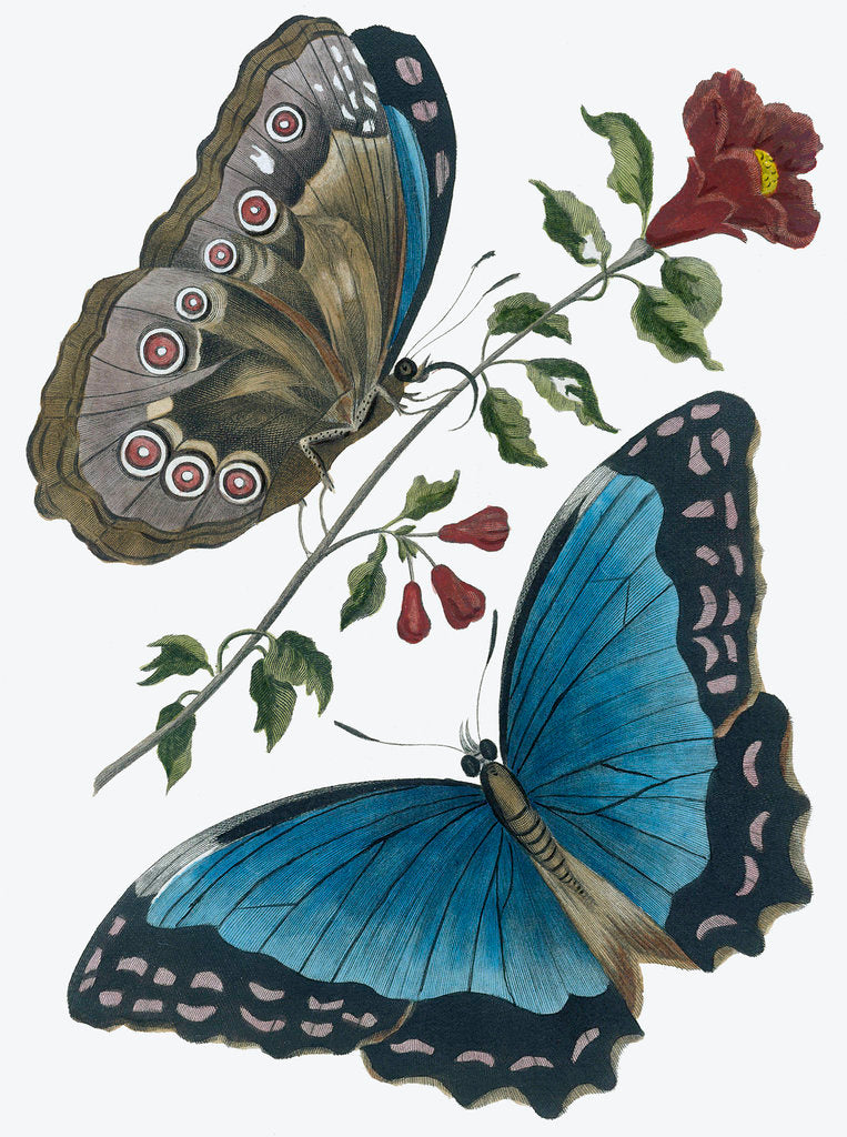 Detail of Azure blue butterfly by Anonymous