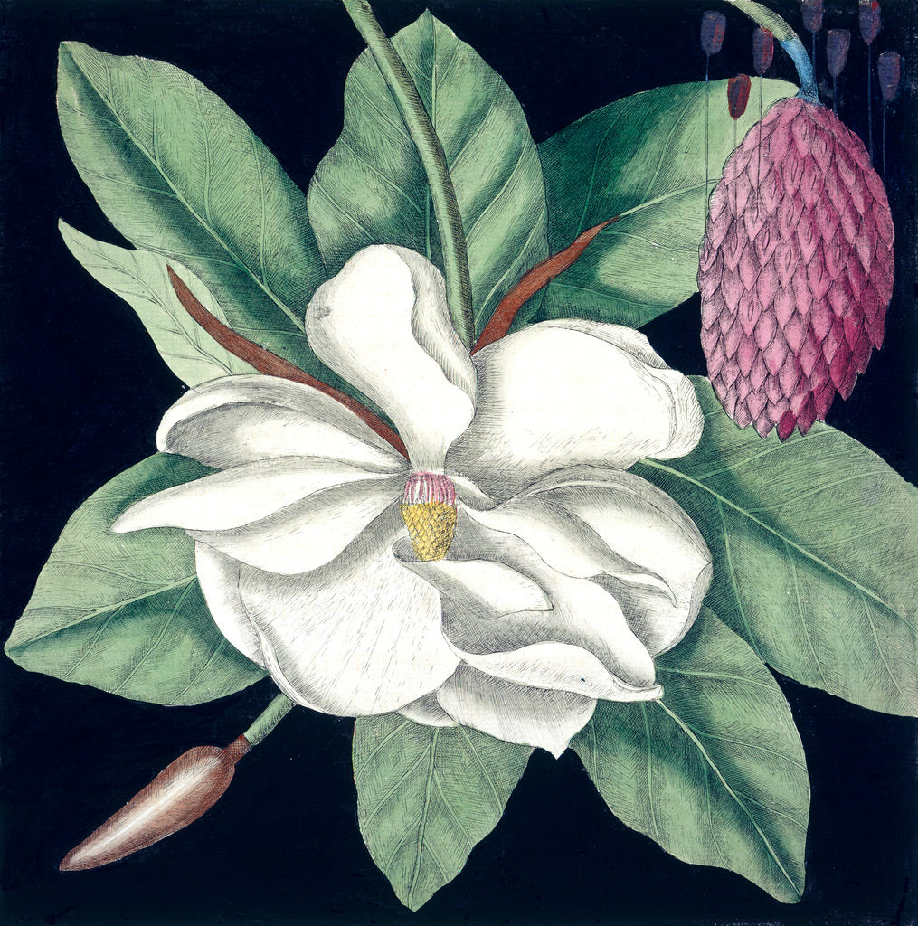 Detail of Magnolia by Mark Catesby