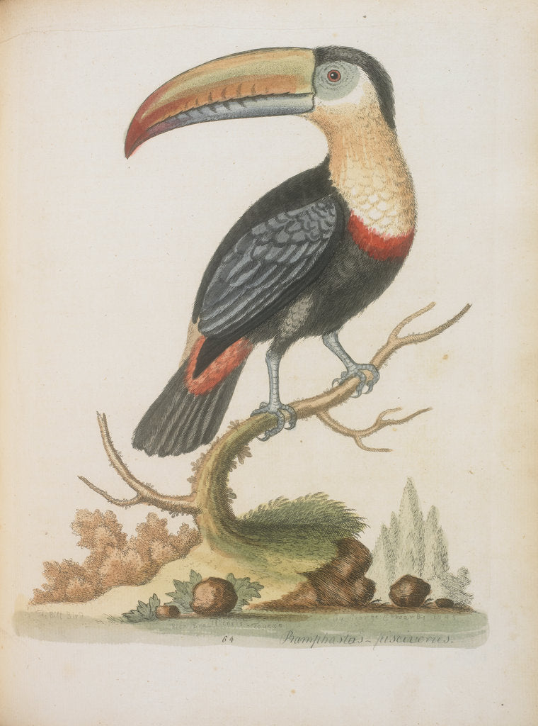 Detail of The Toucan by Anonymous