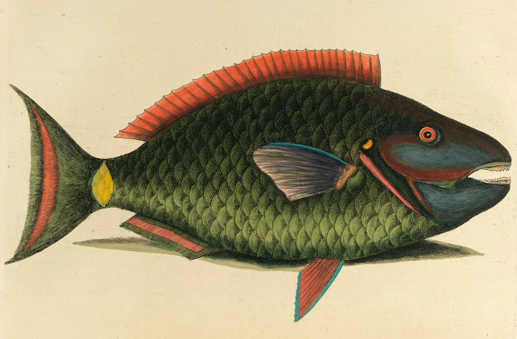 Detail of A parrot fish by Anonymous