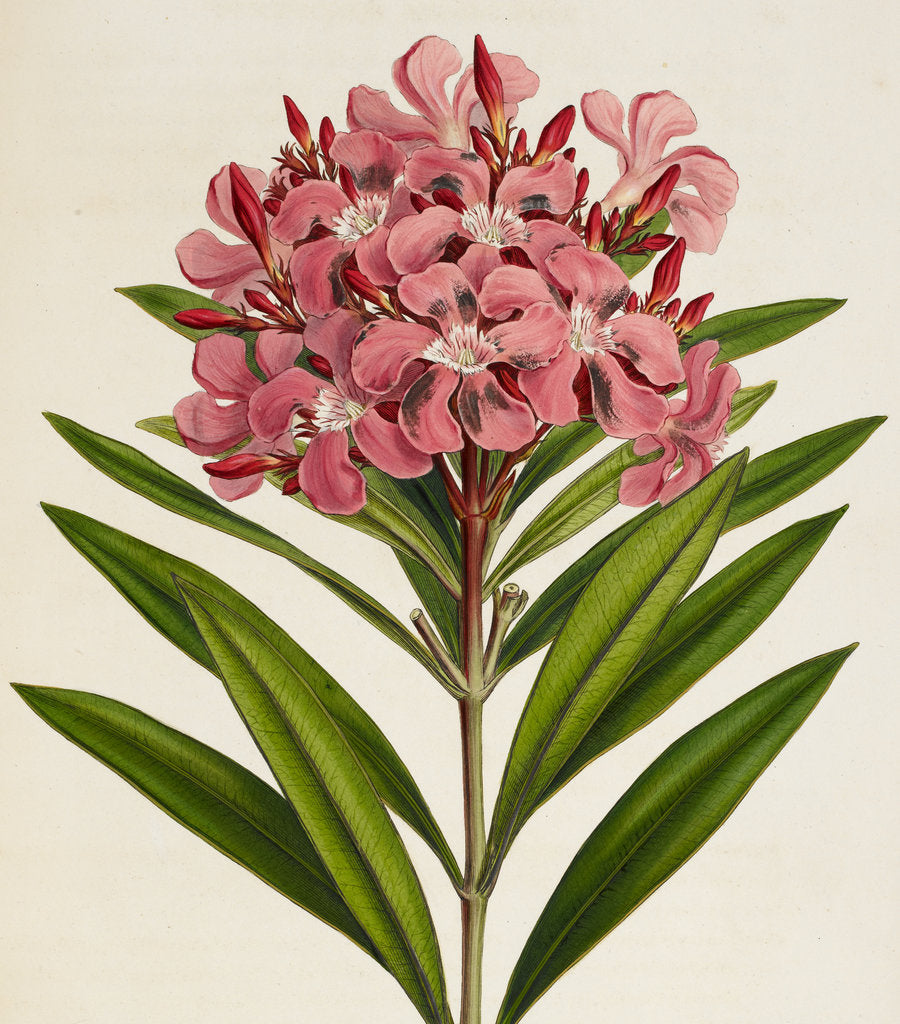 Detail of Nerium (Oleander) by Ferdinand Bauer