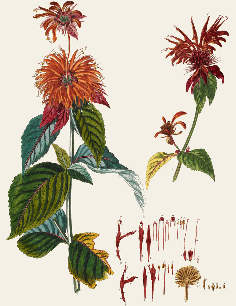 Detail of Monarda (Bergamot) by J E Haid