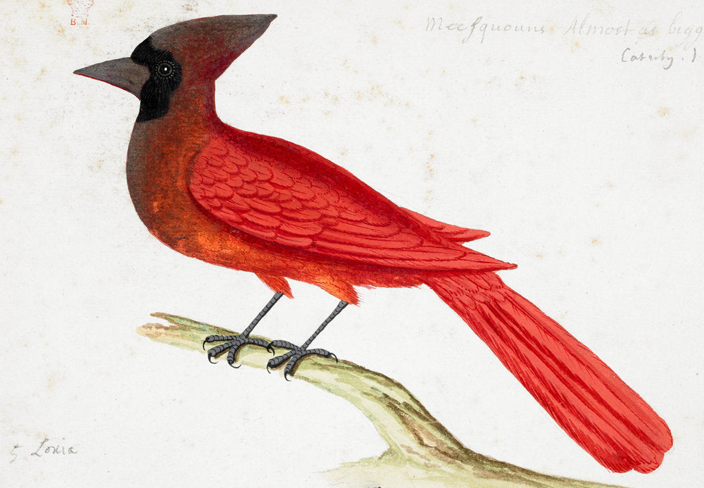 Detail of Red Cardinal by John White