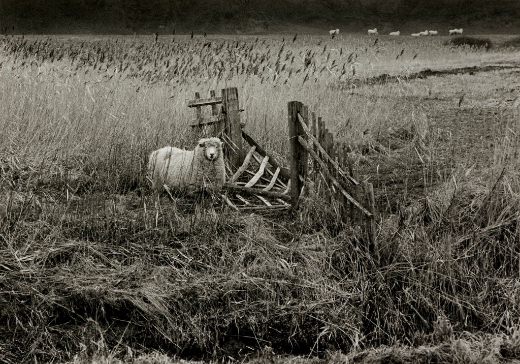 Detail of Sheep by Fay Godwin