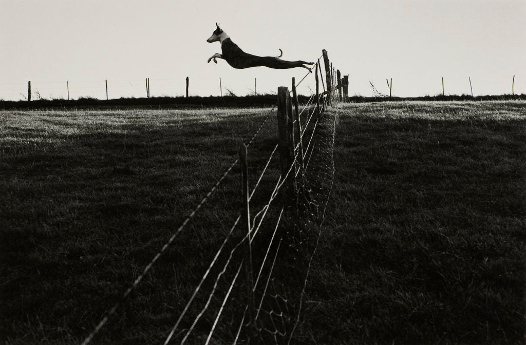 Detail of Leaping lurcher by Fay Godwin