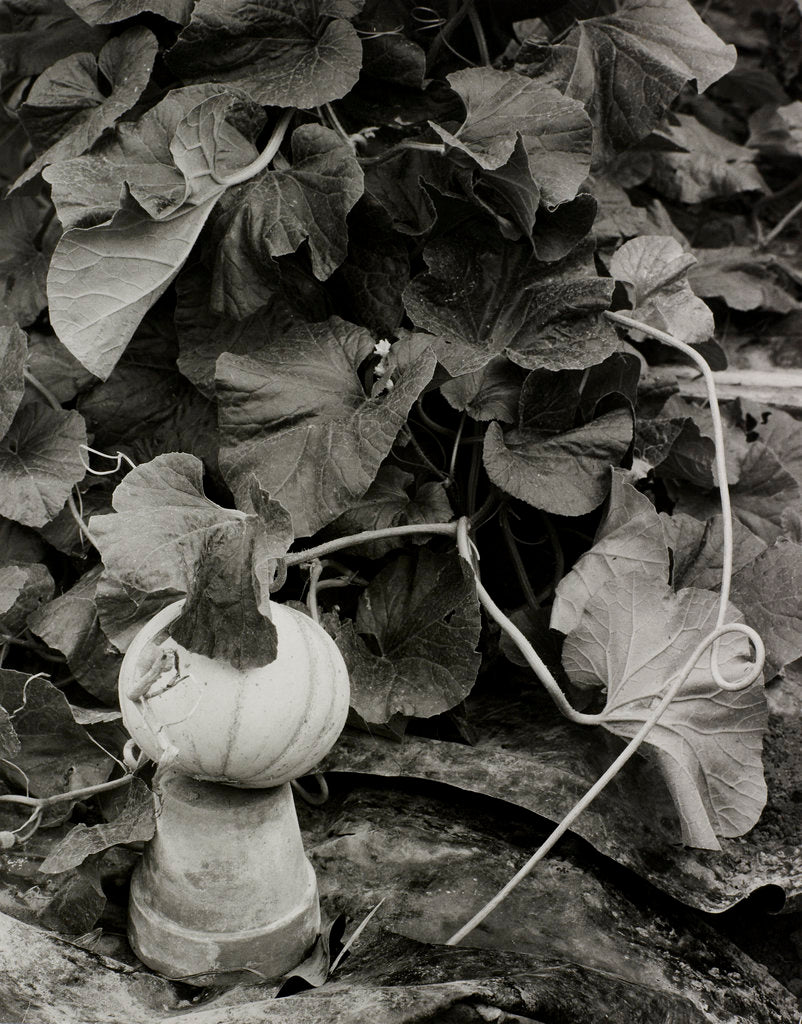 Detail of Pumpkin growing in garden by Fay Godwin