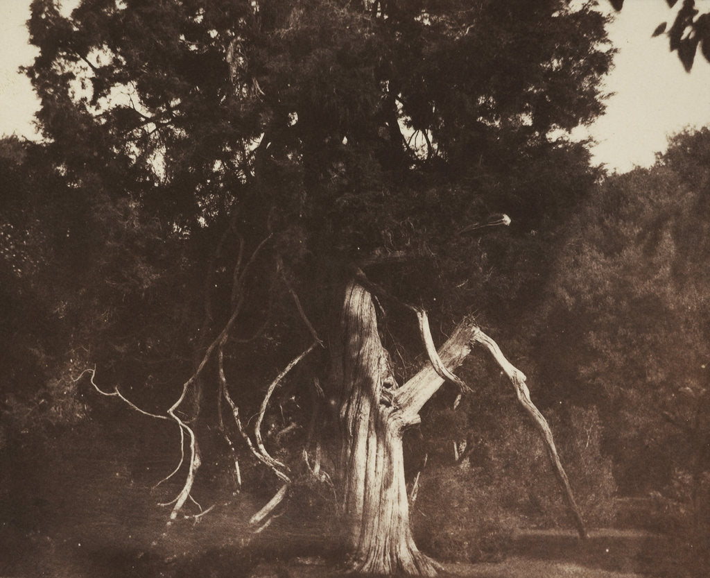 Detail of An aged red cedar in the grounds of Mount Edgcumbe by William Henry Fox Talbot