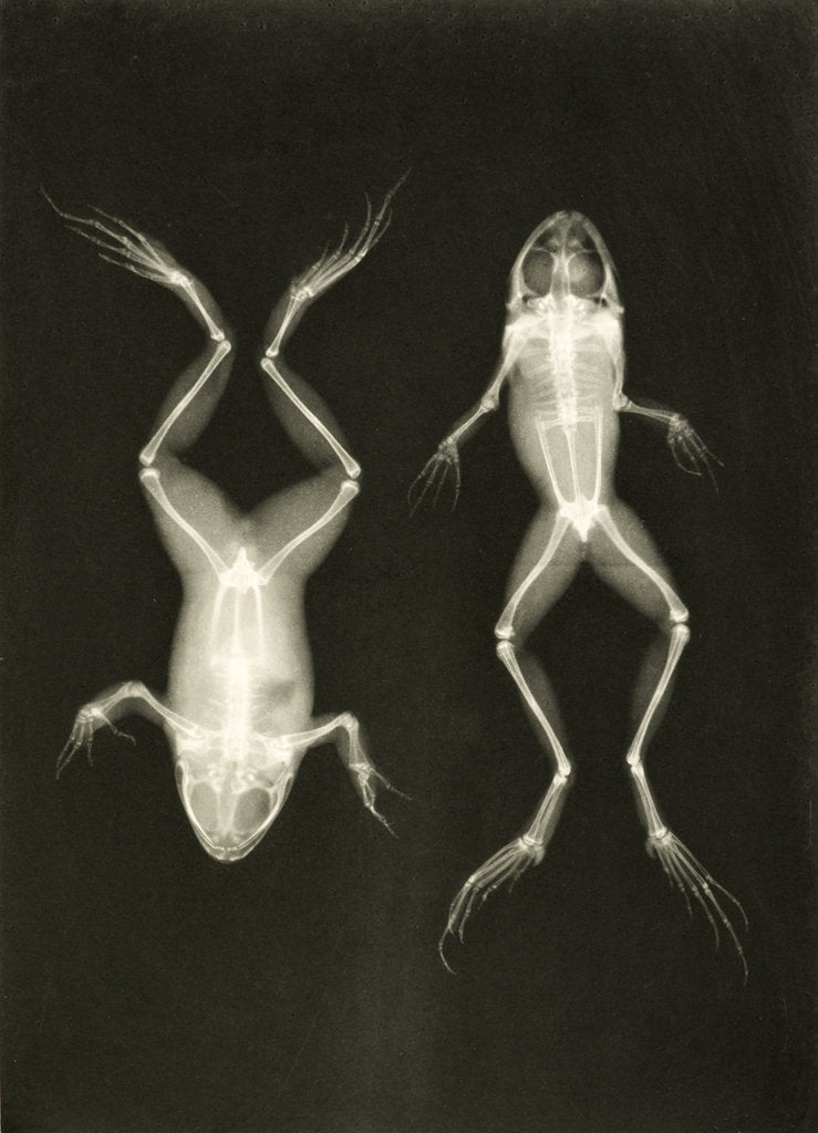 Detail of X-ray photograph of frogs, c.1896 by Josef Maria Eder and Eduard Valentia