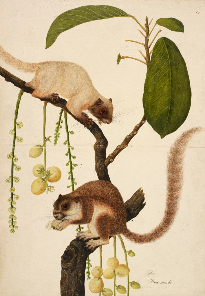 Detail of Squirrels eating fruit print by Anonymous