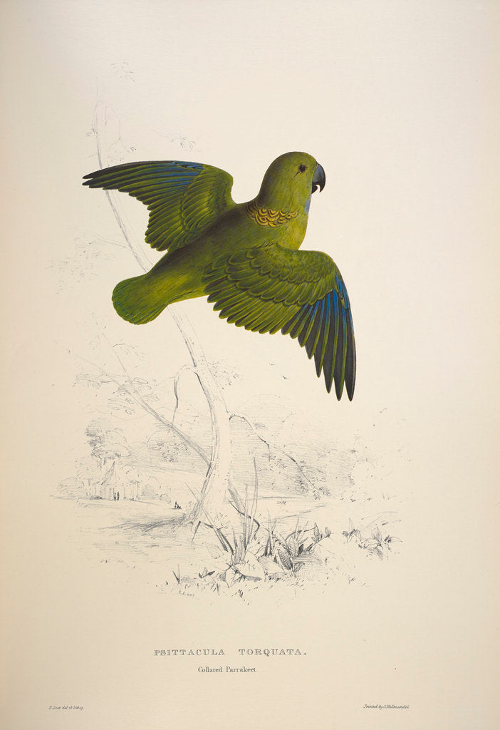 Detail of Collared parakeet by Edward Lear