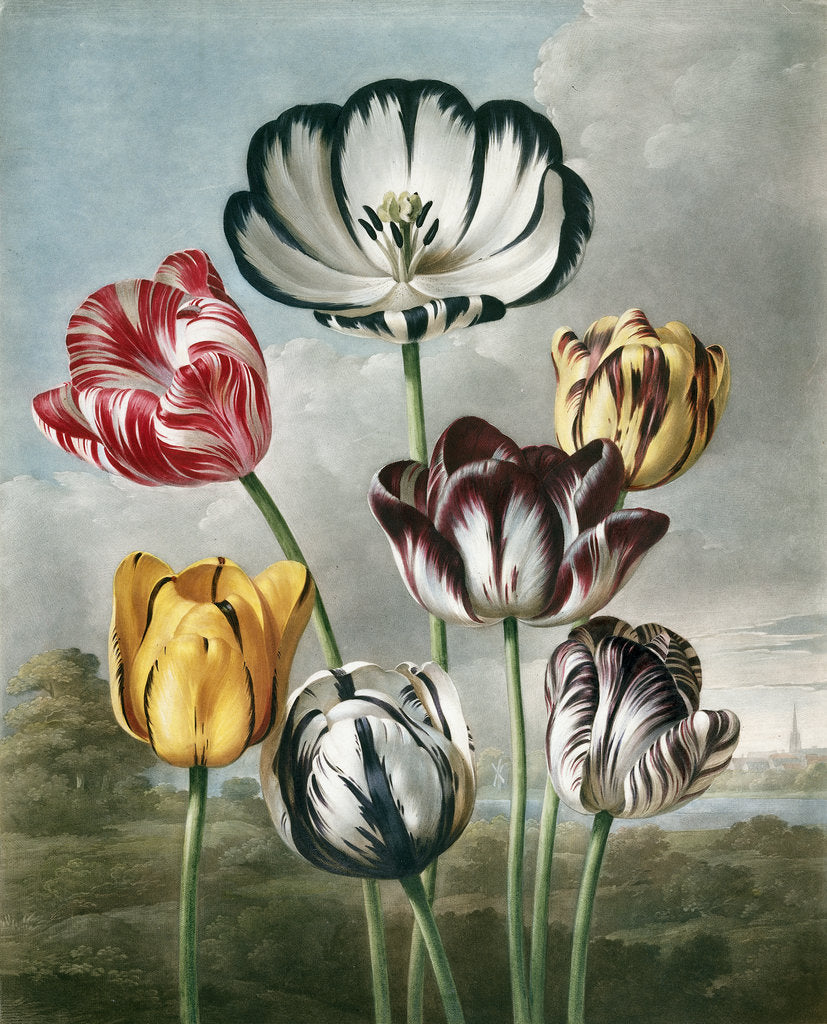 Detail of Tulips - The Temple of Flora by Robert John Thornton
