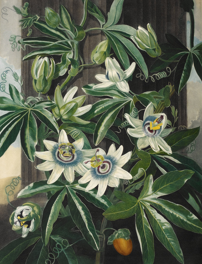 Detail of Passion Flower - The Temple of Flora by Robert John Thornton