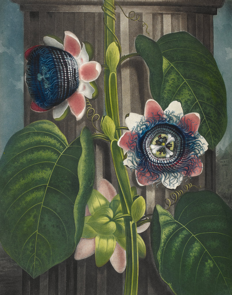 Detail of Quadrangular Passion-flower - The Temple of Flora by Robert John Thornton