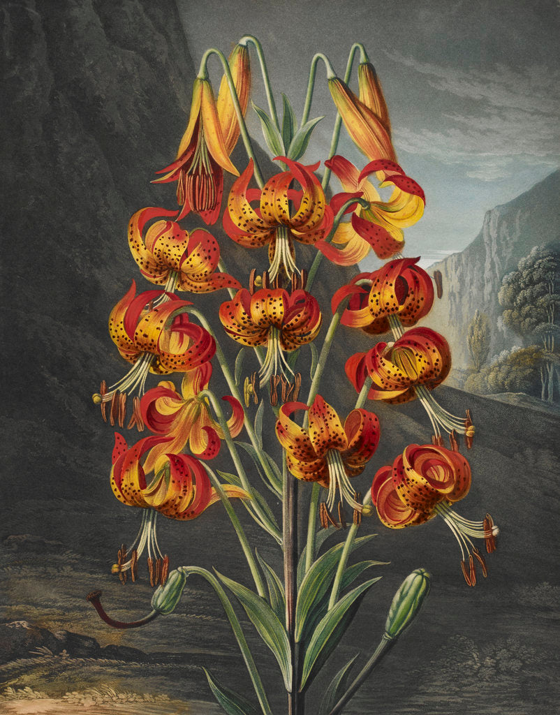 Detail of The Superb Lily - The Temple of Flora by Robert John Thornton