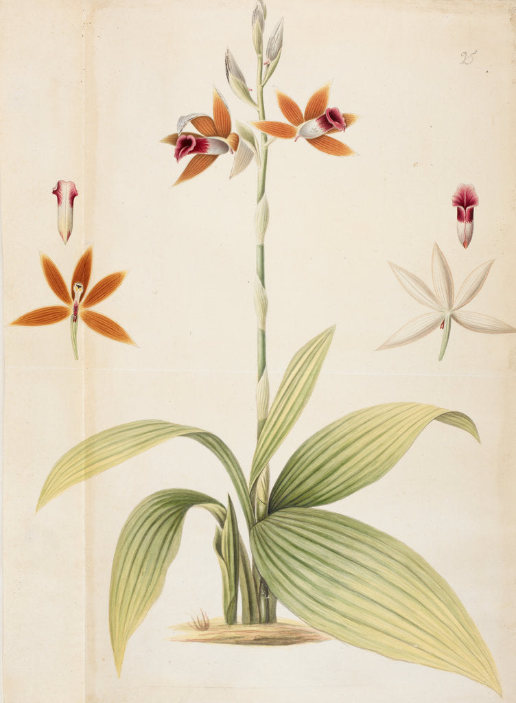 Phaius by Thomas Hardwicke
