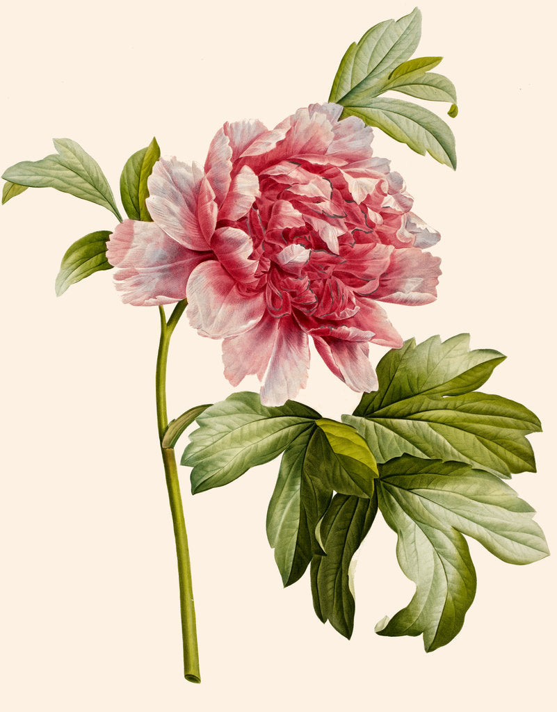 Detail of Paeonia (Tree peony) by Aime Bonpland
