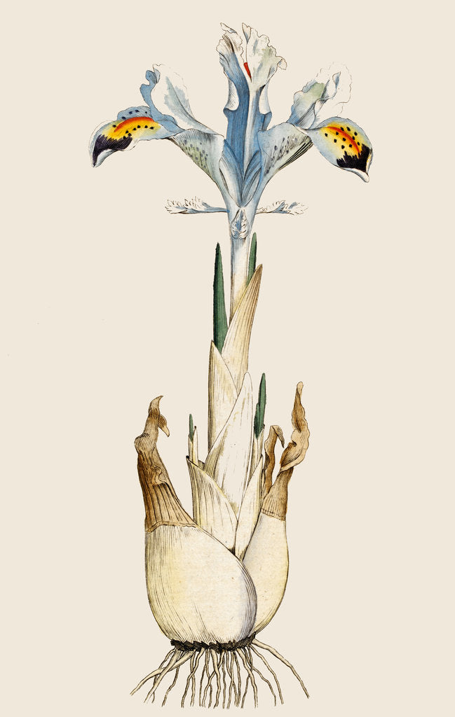 Detail of Iris by Anonymous