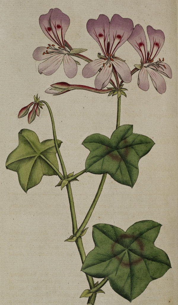 Detail of Geranium by Anonymous