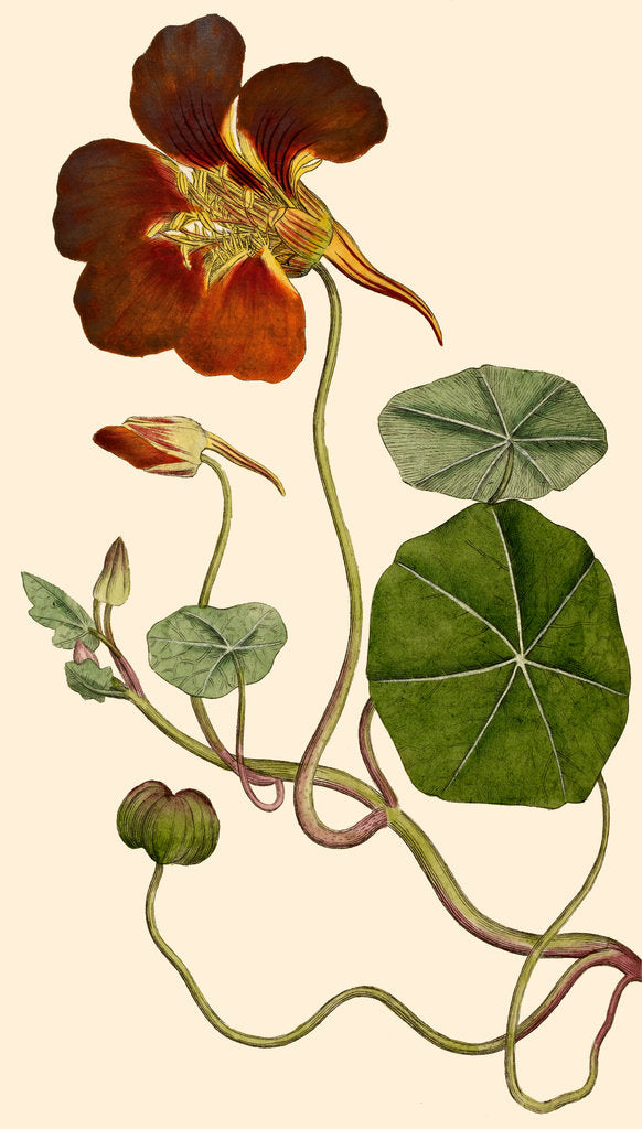 Tropaelum (Nasturtium or Indian cress) by Anonymous