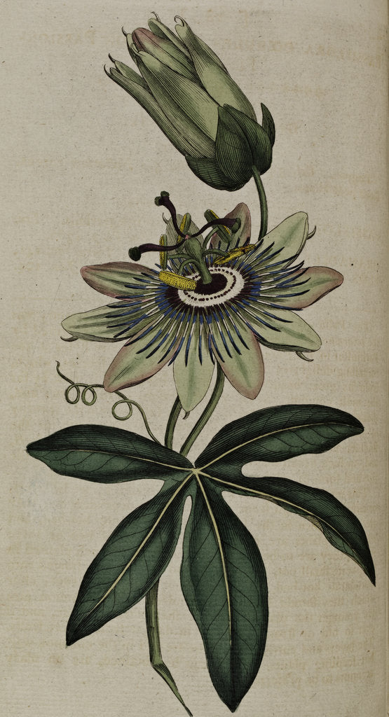 Detail of Passion flower by Anonymous
