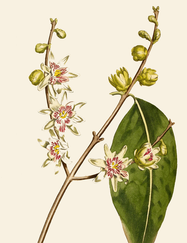 Detail of Chimonanthus (Wintersweet) by Anonymous