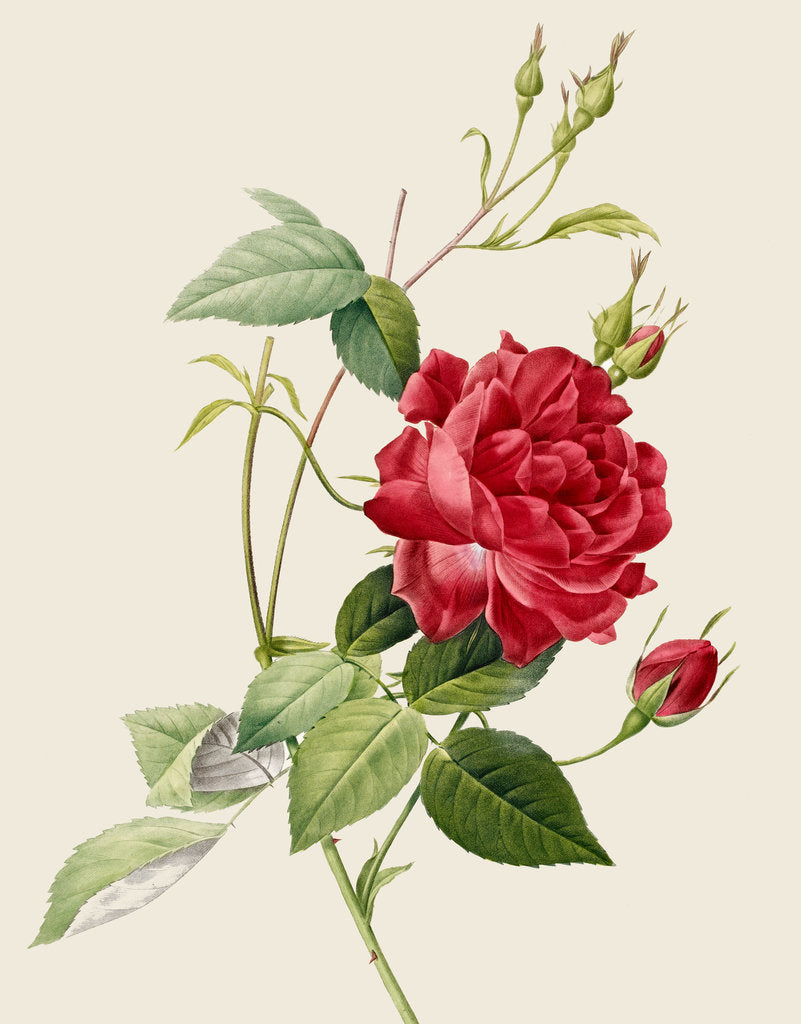 Detail of Rose by Pierre Joseph Redoute