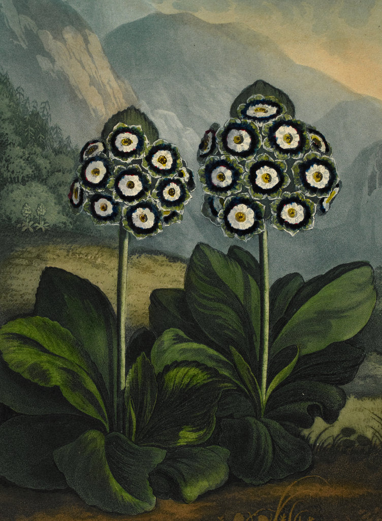 Detail of Auricula by Robert John Thornton